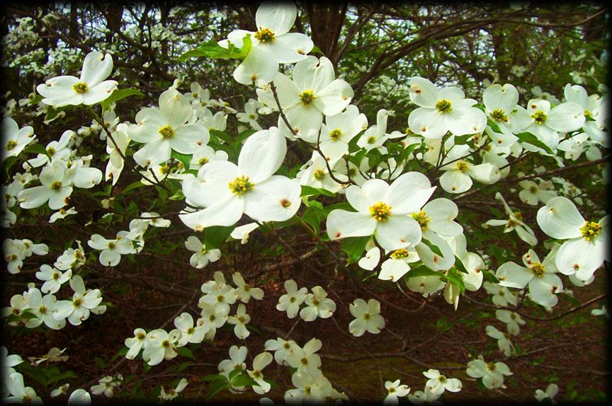 Dogwood blossoms Tom Koob