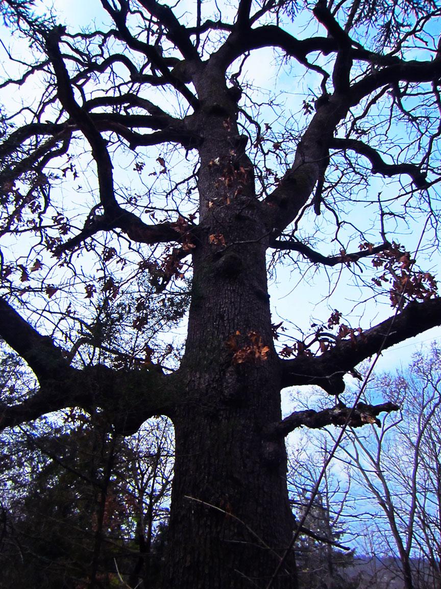 Tall Oak, Tom Koob
