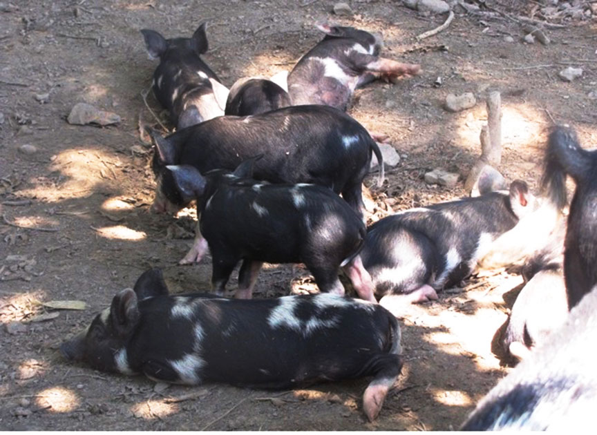 Pig Poetry