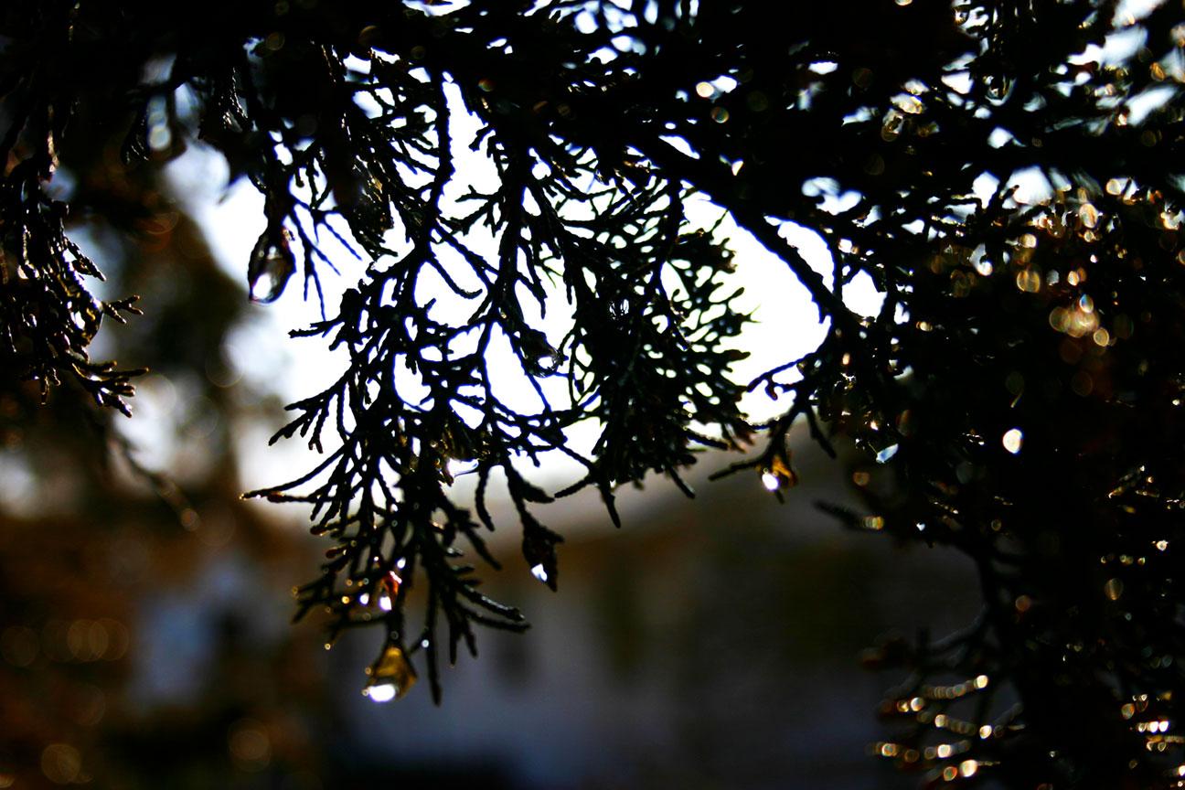Cedar Christmas