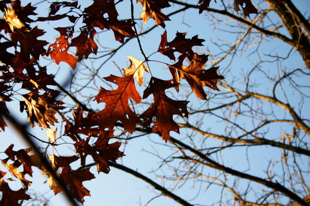 PLATE 1. Quercus palustris